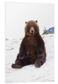Forex  Grizzly sitting in the snow - Doug Lindstrand