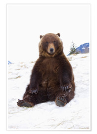 Premium poster Grizzly sitting in the snow