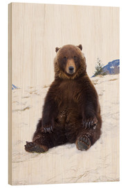 Wood print  Grizzly sitting in the snow - Doug Lindstrand