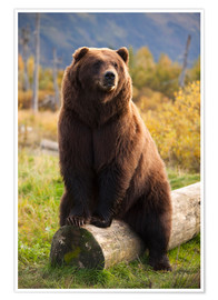 Premium poster Relaxed brown bear