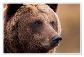 Poster Portrait of Grizzly Bear