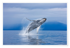 Premium poster  Humpback whales off Iceland Chichagof - John Hyde