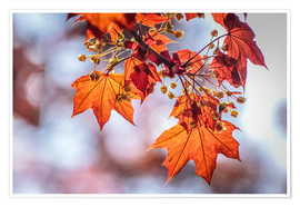 Premium poster Flaming red maple leaves