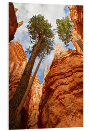 Foam board print  Pine at Bryce Canyon, Utah - Circumnavigation