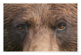 Poster Face of a brown bear