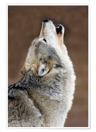 Premium poster Howling gray wolf
