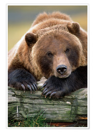 Premium poster Resting brown bear