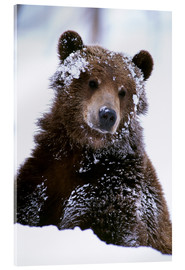 Acrylic glass  Grizzly in the snow - Doug Lindstrand