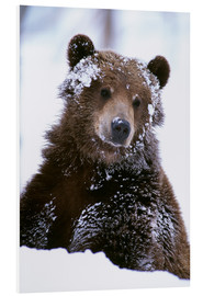 Foam board print  Grizzly in the snow - Doug Lindstrand