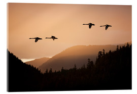 Acrylic print  Swans in flight at sunset - John Hyde