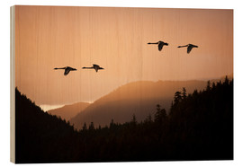 Wood print  Swans in flight at sunset - John Hyde