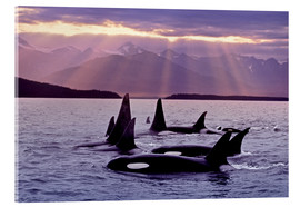 Acrylic glass  Orcas in the evening - John Hyde