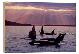 Wood print  Orcas in the evening - John Hyde