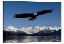 Canvas print  Bald Eagle in Tongase National Forest - John Hyde