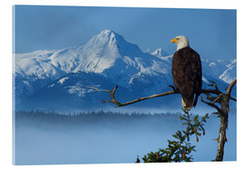 Acrylic print  Bald Eagle on a Spruce - John Hyde
