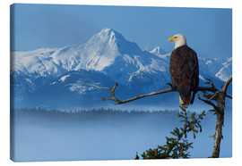 John Hyde - Bald Eagle on a Spruce