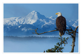 Premium poster Bald Eagle on a Spruce