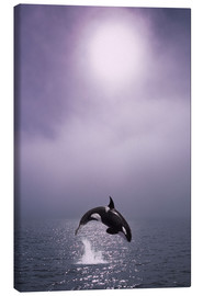 Canvas print  Orca at dawn - John Hyde