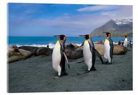 Acrylic print  King Penguins on South Georgia Iceland - Tom Soucek