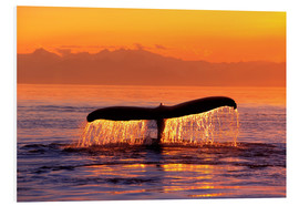 Foam board print  Humpback whale in the evening - John Hyde