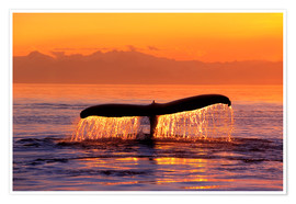 Premium poster Humpback whale in the evening