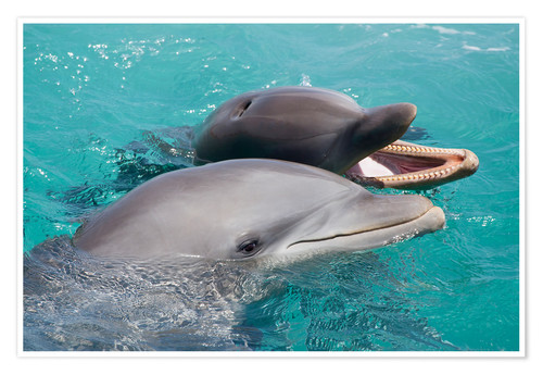 Premium poster Two bottlenose dolphins