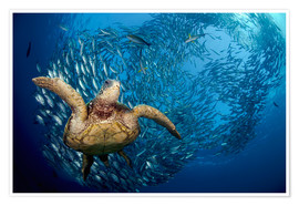 Poster  Green sea turtle before Bali - Dave Fleetham
