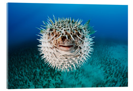 Acrylic glass  Spotted porcupinefish - Dave Fleetham