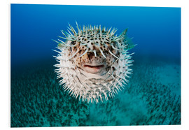 Foam board print  Spotted porcupinefish - Dave Fleetham
