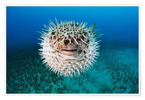 Premium poster Spotted porcupinefish