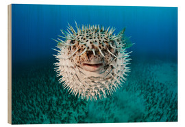 Wood print  Spotted porcupinefish - Dave Fleetham