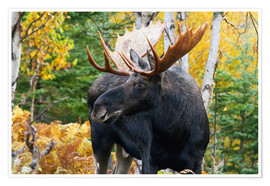 Premium poster  Moose in the Gaspesie National Park - Philippe Henry