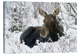 Canvas print  Cow elk in a winter forest - Philippe Henry