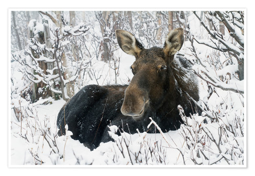 Premium poster Cow elk in a winter forest