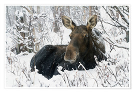 Poster  Cow elk in a winter forest - Philippe Henry