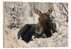 Wood  Cow elk in a winter forest - Philippe Henry