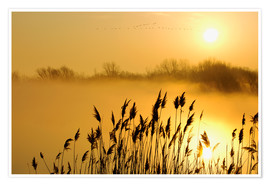 Premium poster  Grasses at sunrise - Steeve Marcoux