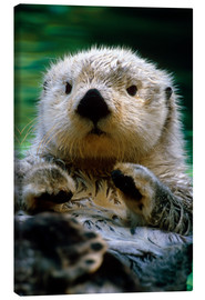 Canvas print  Percussion Otter - Harry M. Walker