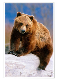 Poster Brown Bear on a trunk
