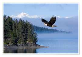 Premium poster  Bald Eagle in flight - John Hyde