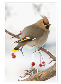 Premium poster Waxwing on Rowan branch