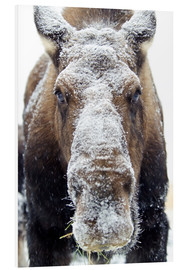 Foam board print  Snowy Elk - Mark Newman