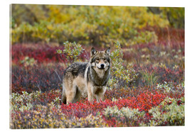 Acrylic print  Gray Wolf in the tundra - Gary Schultz