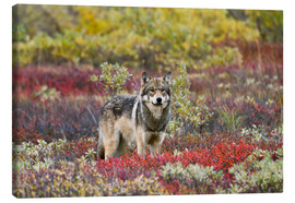 Canvas  Gray Wolf in the tundra - Gary Schultz