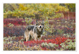 Premium poster  Gray Wolf in the tundra - Gary Schultz