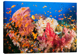 Canvas print  Horn coral in Fiji - Dave Fleetham