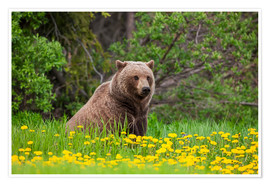 Premium poster A brown bear on a dandelion meadow