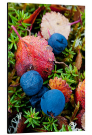 Aluminium print  Blueberries in autumn - Cathy Hart
