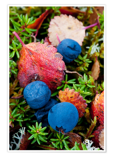 Poster Blueberries in autumn