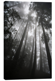 Canvas print  Treetops in fog - Paul Quayle
